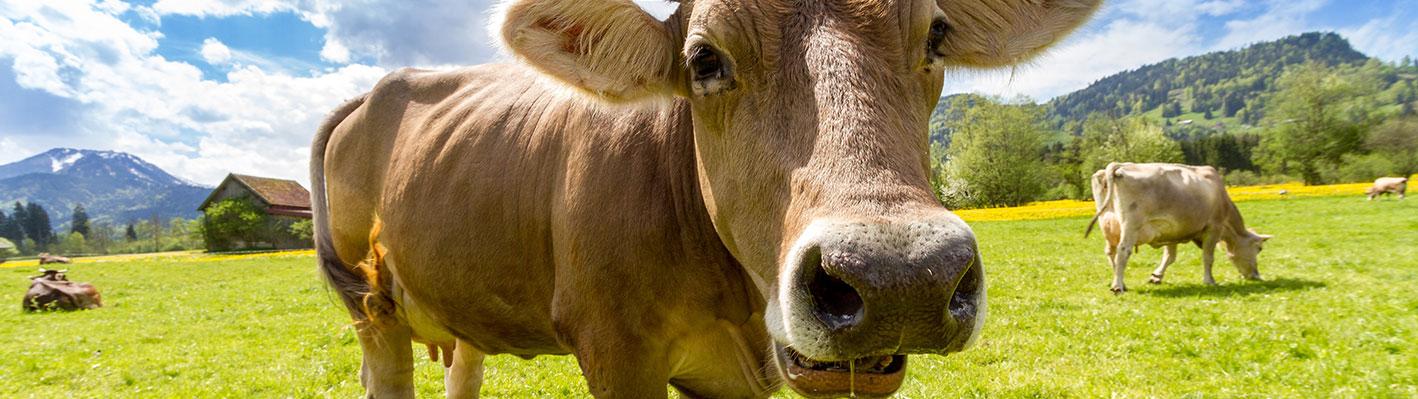 Kühe Weide