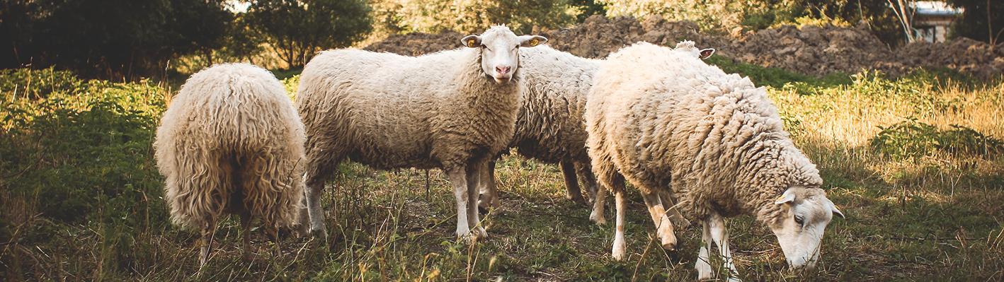 Schafe Weide