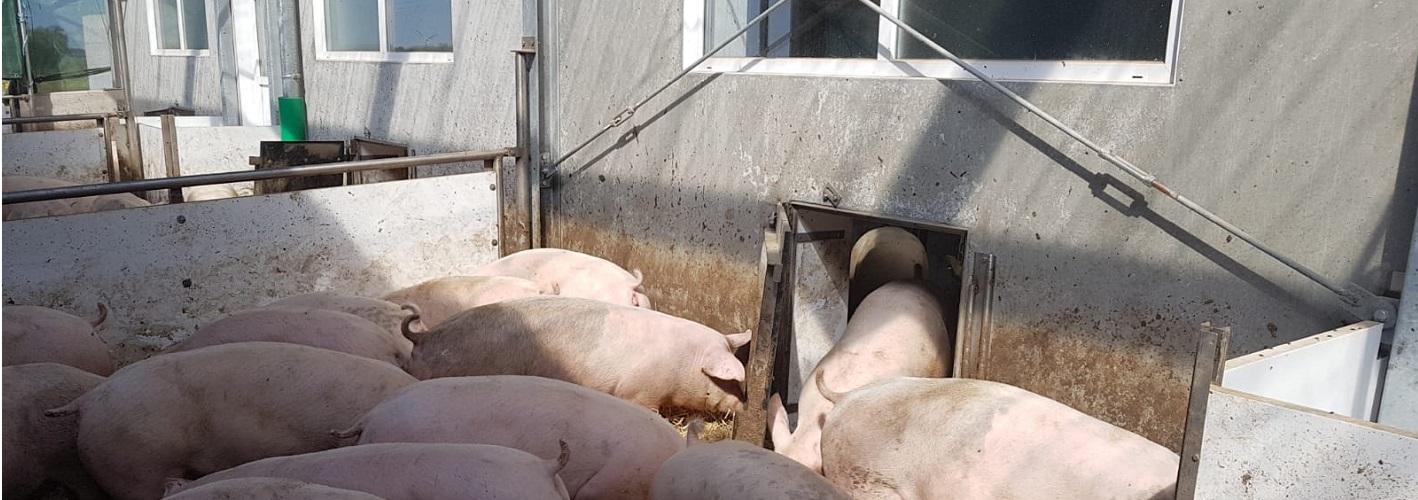Auslauf Schweinestall